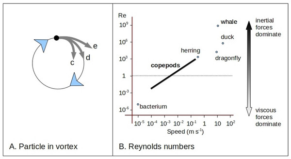 Particle paths and copepod dynamics.