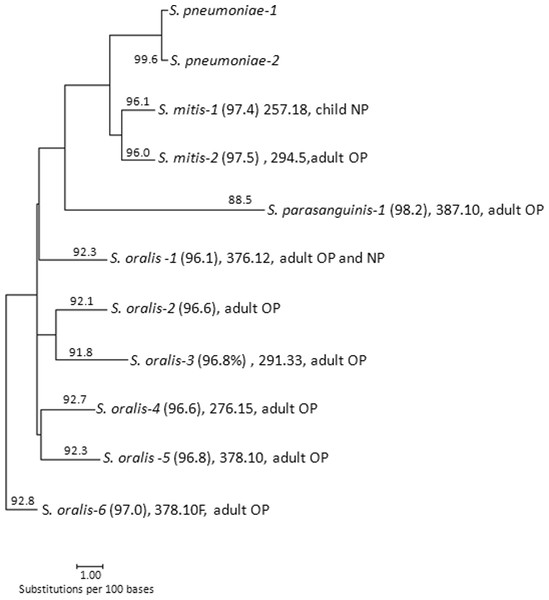 Phylogenetic analysis of 3063 bp concatenated housekeeping gene fragments from 9 non-pneumococcal. cmPCR+ strains isolated during this study (indicated as S. mitis-1, etc.).