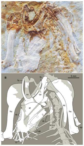Photograph (A) and interpretive drawing (B) of the thoracic girdle and vertebral series, rib cage, and humeri of DNHM D2946.
