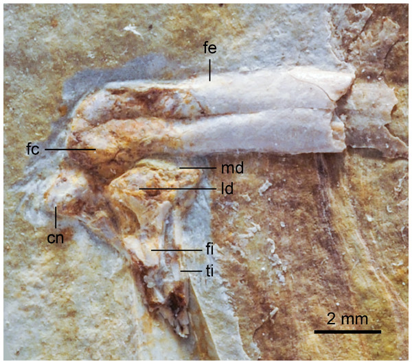 Close up photograph of the left knee (lateral view) of DNHM D2946.