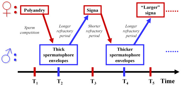 Sexually antagonistic coevolution hypothesis of the evolution of spermatophore envelope thickness and signa in Lepidoptera.