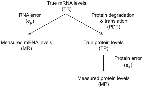 The relationship between true and measured protein and mRNA levels.