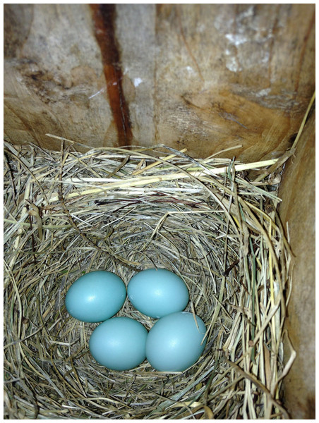 On 17 June 2013, an eastern bluebird (Sialia sialis) nest was observed containing one relatively large egg (bottom right) and three normal-sized eggs in State College, Pennsylvania.