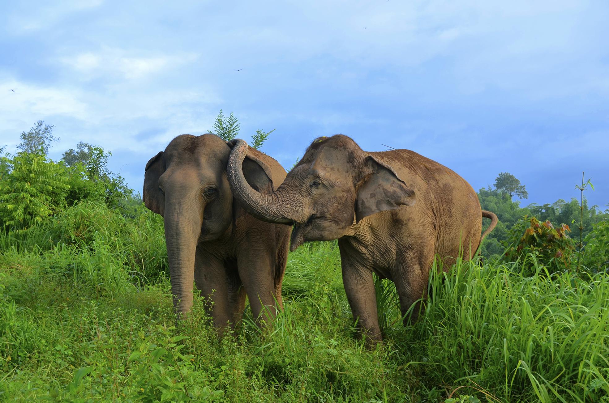 asian elephants elephas maximus reassure others in distress peerj