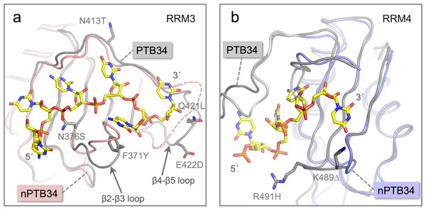 Location of amino acid differences on the RNA binding surfaces of PTB34 and nPTB34.