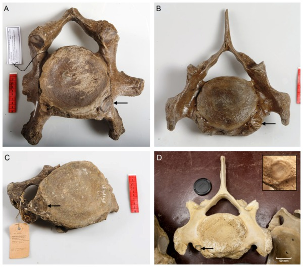 Presence of rib articulation facets on cervical vertebrae of woolly mammoths (A–C) and Asian elephant (D).