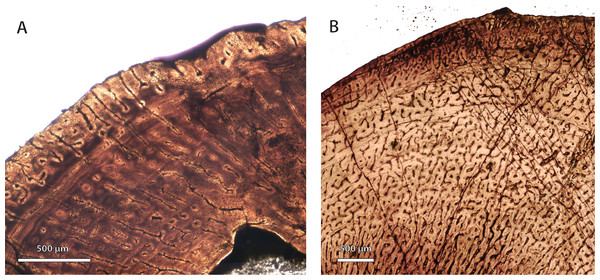 Comparison of bone histology and microvasculature in Permian Theriognathus and Moschorhinus.