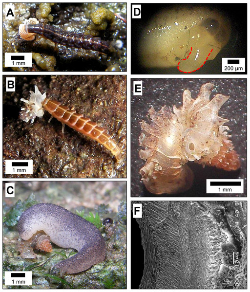 Predatory strategies that are used by Atopos slugs and Lampyridae beetle larvae to attack micro-land snails—Plectostoma species.