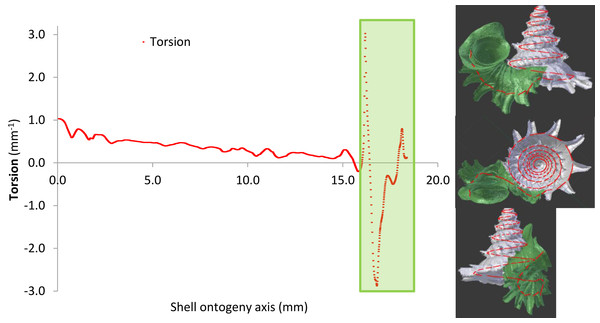 Shell whorl morphometric changes in torsion along the shell ontogeny.