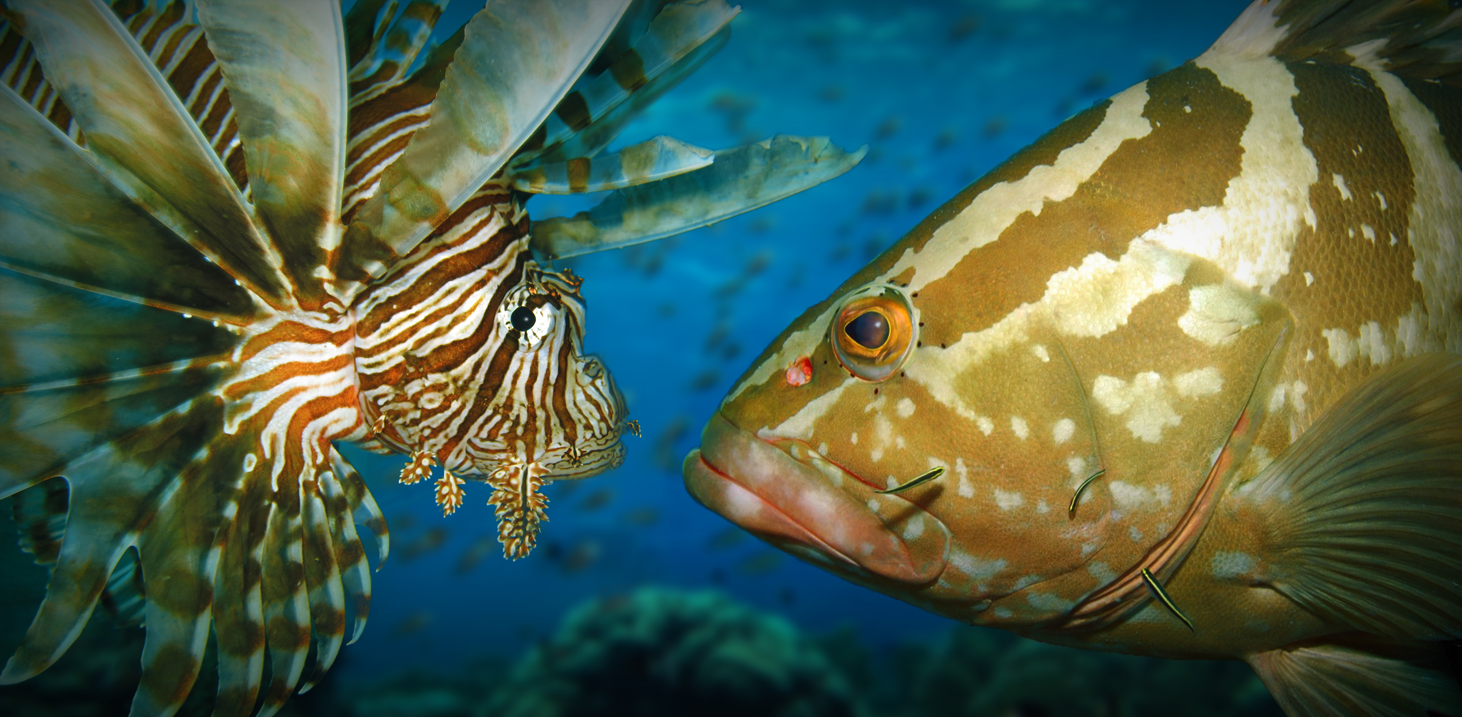 Lionfish Eating Prey | www.imgkid.com - The Image Kid Has It!