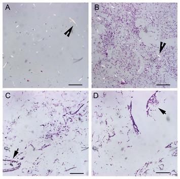 Culture of equine fibroblast-like synoviocytes on ...