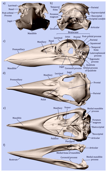 Osteology of the avian skull.