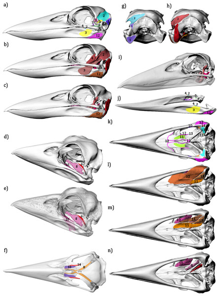 Jaw musculature of the Australian Laughing Kookaburra Dacelo novaeguineae.