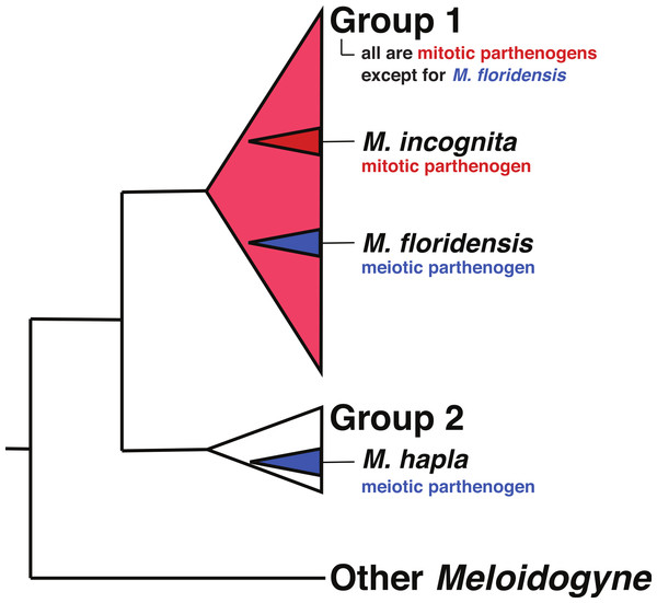 The relationships of tropical apomict Meloidogyne.