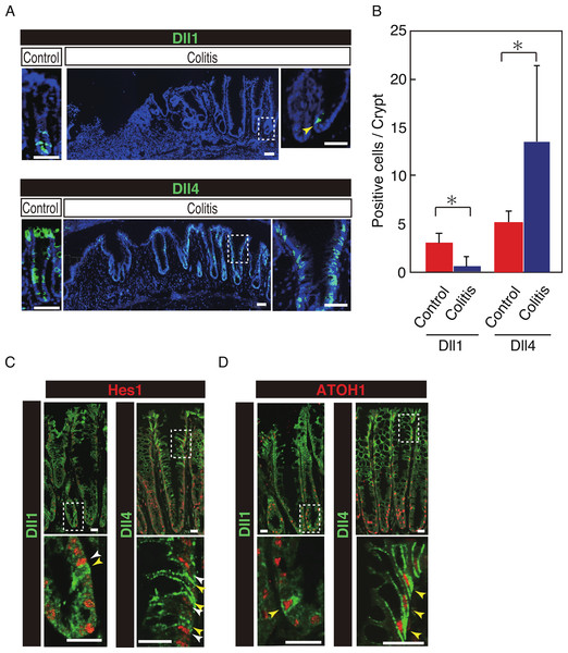 Dll4+ve cells dominate the colonic crypts of the DSS-colitis mice.