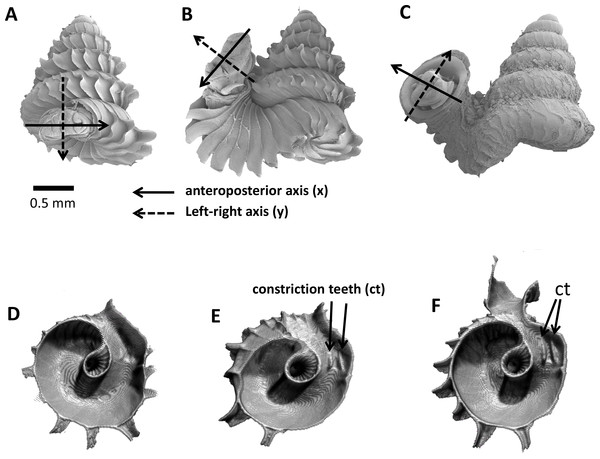 Animal orientations and formation of constriction teeth of Plectostoma concinnum at different growth phases.
