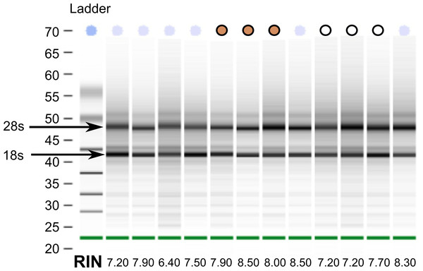 RNA quality from post-mortem sampled sparrows.