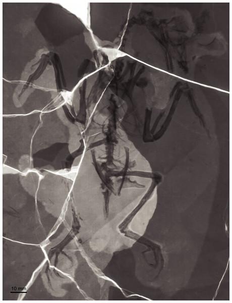 X-ray photograph of BMNHC Ph 756.