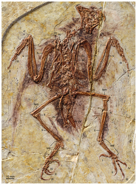 Photograph of the holotype of Zhouornis hani, CNUVB-0903.