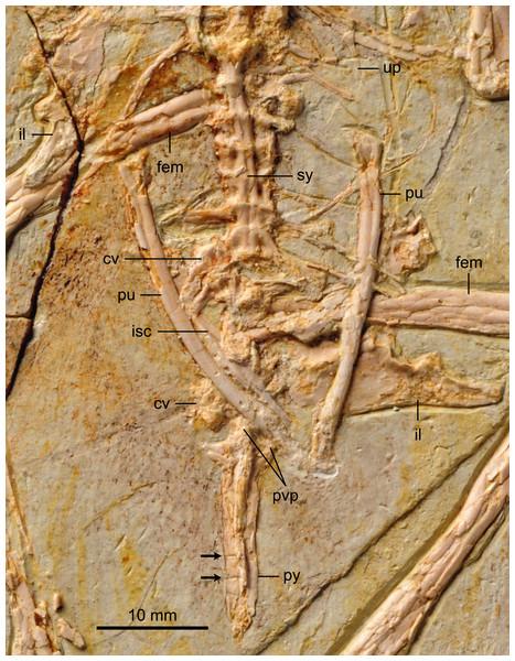 Detail photograph of pelvic girdle of BMNHC Ph 756.
