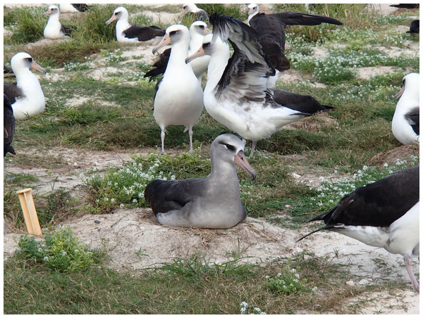 A recently documented hybrid that is mated to a Laysan Albatross and has raised chicks.