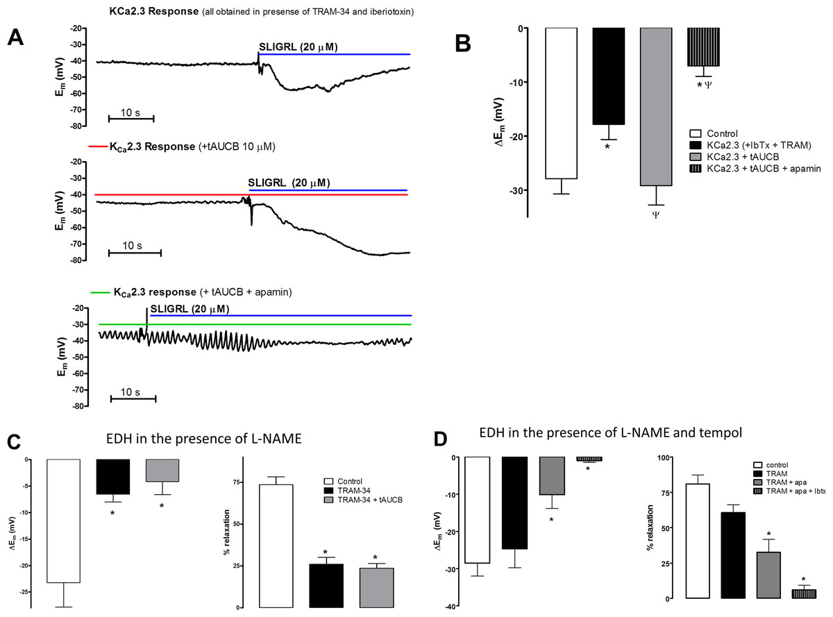 Regulation of KCa2.3 and endothelium-dependent hyperpolarization ...