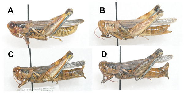Lateral view of Melanoplus bowditchii grasshoppers collected feeding on (A) sand sagebrush, (B) fringed sagebrush, (C) winterfat, and (D) big sagebrush.