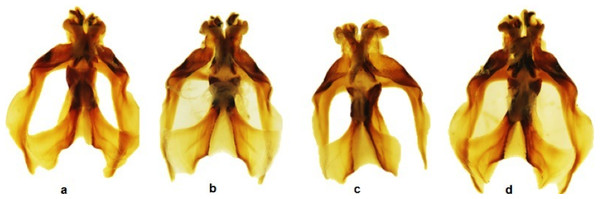 Dorsal view of the aedeagus of Melanoplus bowditchi collected from (A) sand sagebrush, (B) fringed sagebrush, (C) winterfat, and (D) big sagebrush.