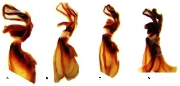 Lateral view of the aedeagus of Melanoplus bowditchi collected from (A) sand sagebrush, (B) fringed sagebrush, (C) winterfat, and (D) big sagebrush.