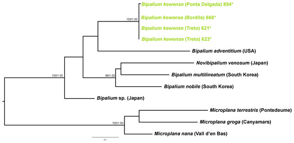 Bipaliinae dataset ML tree.