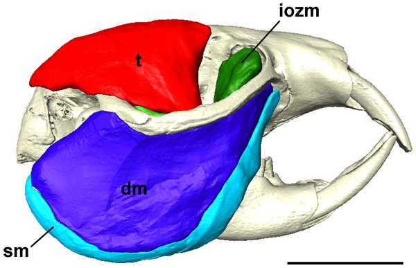 Masticatory muscles of Heterocephalus glaber.