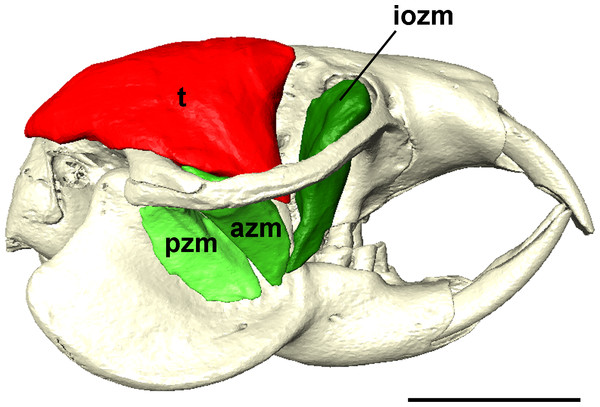 Temporalis and zygomaticomandibularis muscles of Heterocephalus glaber.