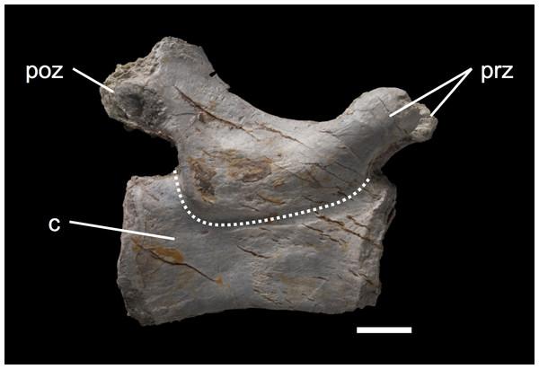 Caudal vertebra MSF 11.3.348.