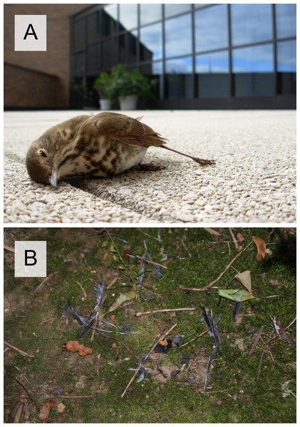 Birds fatally wounded after crashing into windows.