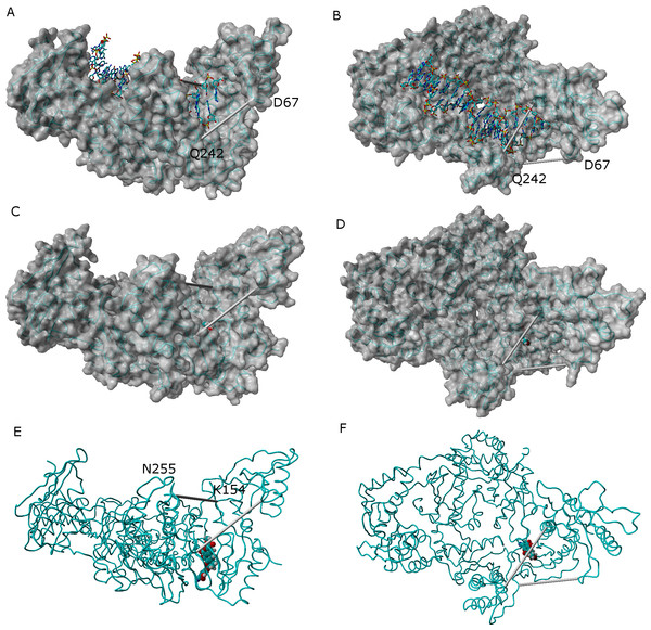 "Comparison between the catalytically active ""open"" conformation of HIV-1 reverse transcriptase and the ""extended"" conformations obtained in the simulations."