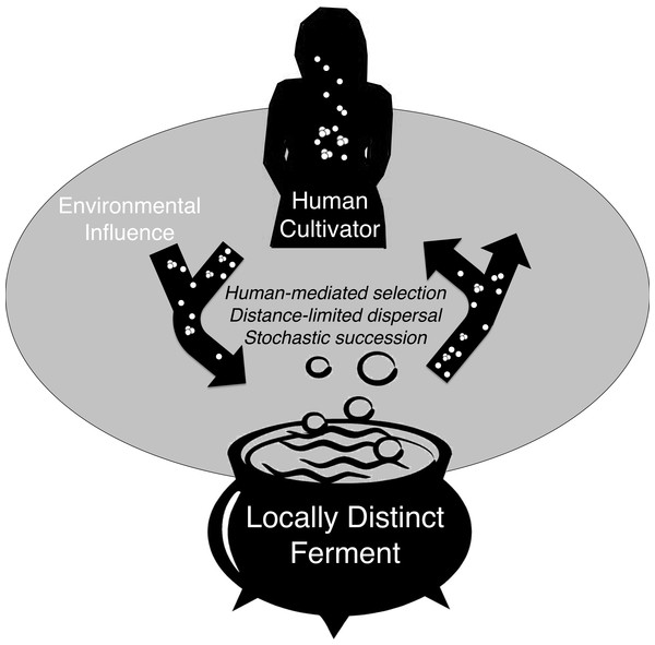 Conceptual model of microbial exchange between human cultivators and a locally distinct ferment.