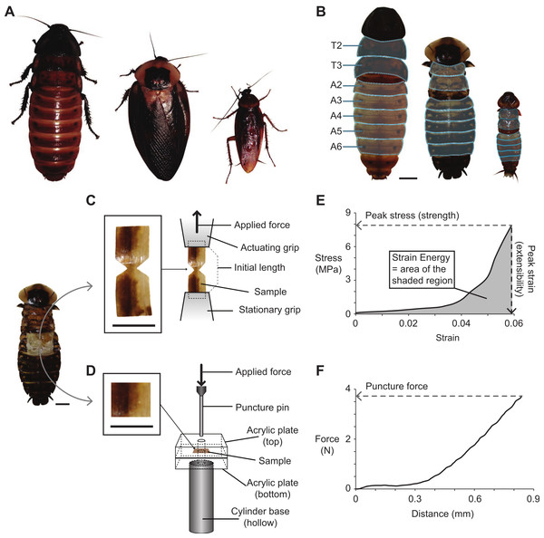 Cockroach species used in the present study, and the methods used for dissecting, fabricating, testing, and analyzing cuticle samples subjected to tensile and puncture tests.