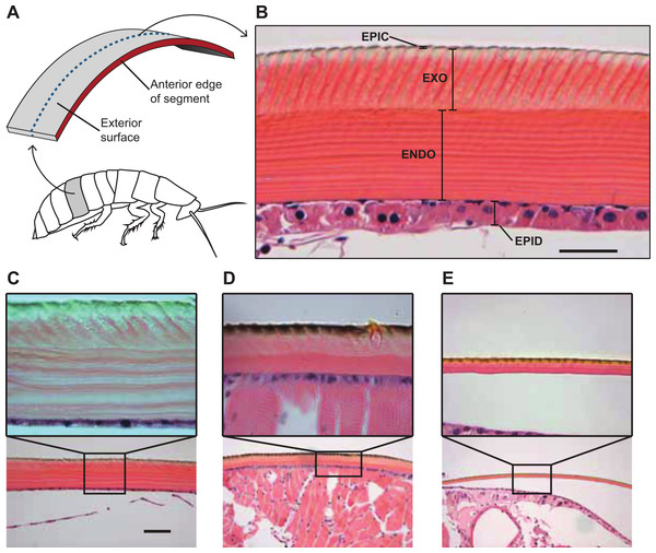 Comparative morphology of the cuticle in the cuticle of G. portentosa, B. craniifer, and P. americana, and methods used for measuring thickness of the cuticle and its components.