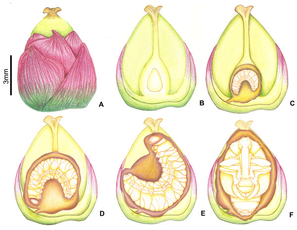 Growth of immatures of A. eriospathae inside fruits of B. eriospatha.