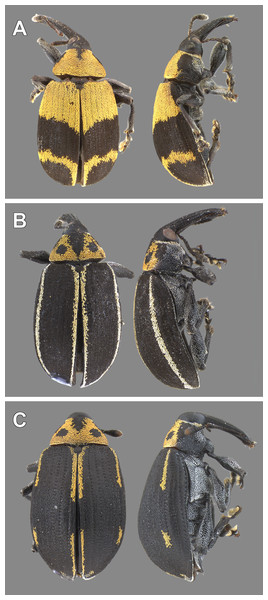 Color morphs of adults of Anchylorhynchus eriospathae found in Cidade Universitária.
