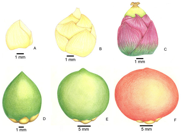 Stages of fruit development in Butia eriospatha.