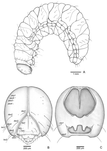 Anchylorhynchus eriospathae, fourth-instar larva. Habitus and head.