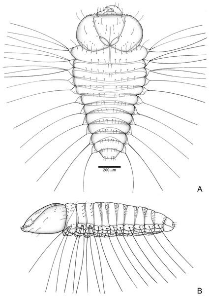Anchylorhynchus eriospathae, first-instar larva. Habitus.