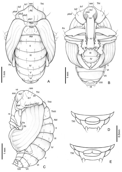 Anchylorhynchus eriospathae, pupa.
