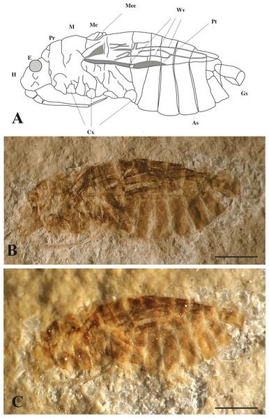 Mesoveliidae.