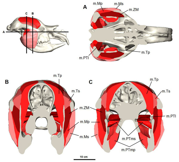 Digital reconstruction of the jaw adductor musculature in the Bacchus Marsh Diprotodon.