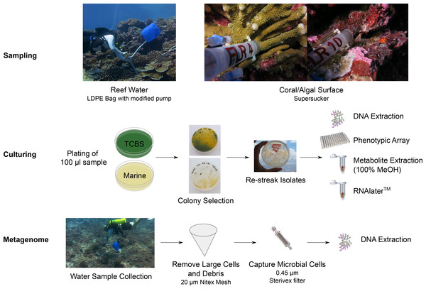 Workflow for the preparation of bacterial isolates and water samples for genome and metagenome sequencing.