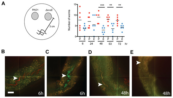 C. elegans ingests but ultimately avoids a P. aeruginosa ΔexsE mutant that overexpresses the type III secreted effectors.