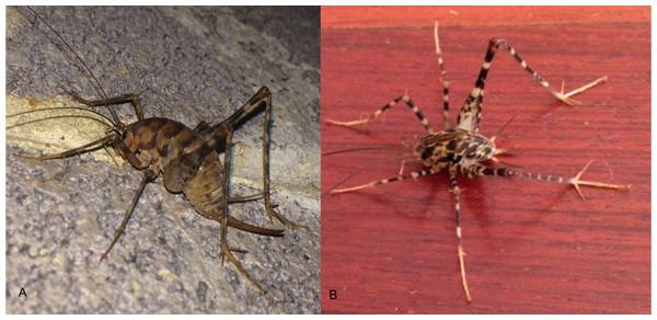 Images of Diestrammena asynamora and putative D. japanica.