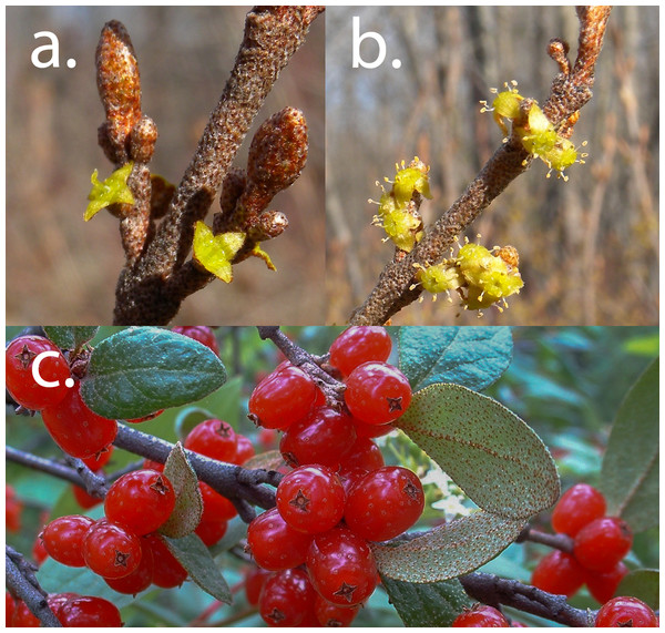 Canada buffaloberry flowers and fruit.